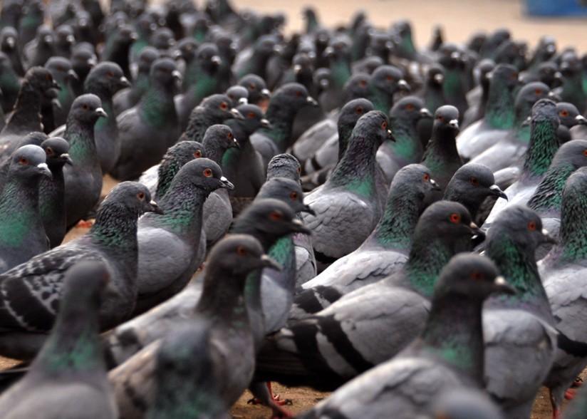 Entenda porque pombos também são consideradas pragas urbanas