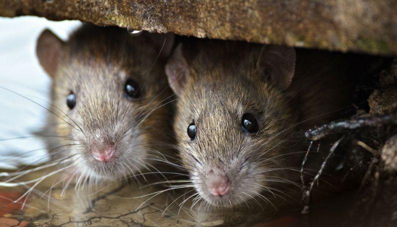 Ratos: saiba quais são as doenças transmitidas e cuidados