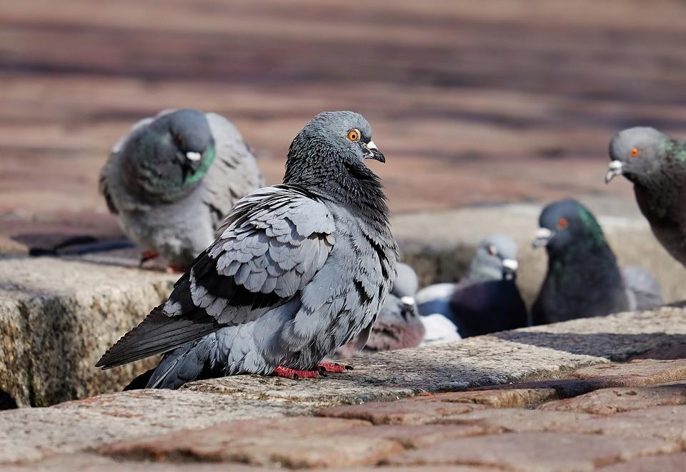 Por que os pombos podem ser um risco para a saúde dos humanos?