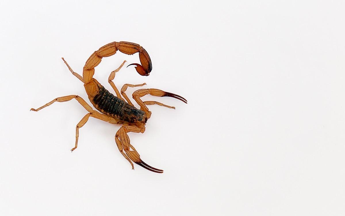 O perigo dos escorpiões