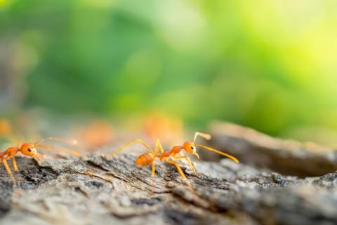 Descubra agora como acabar de vez com as formigas que ficam dentro de casa